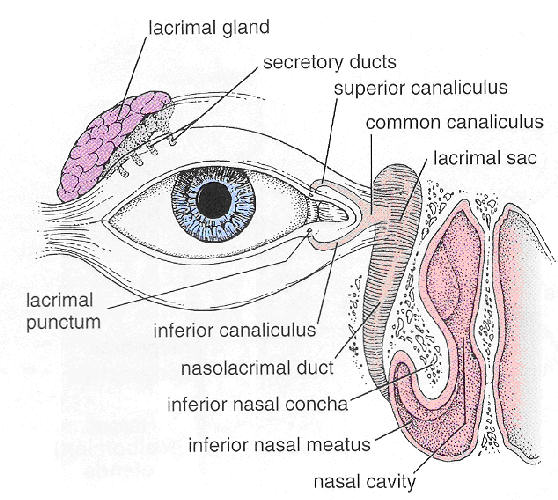 The eye lachrymal gland ccuart Images